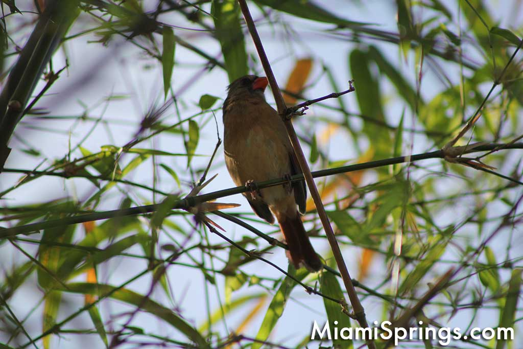 Miami Springs Wildlife:  Bird on Bamboo